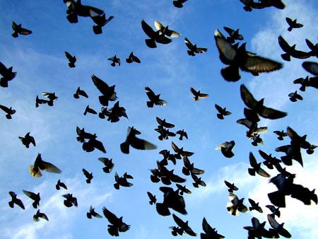 картина голуби: